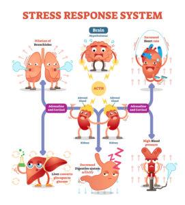 Wie unser Körper auf Stress reagiert